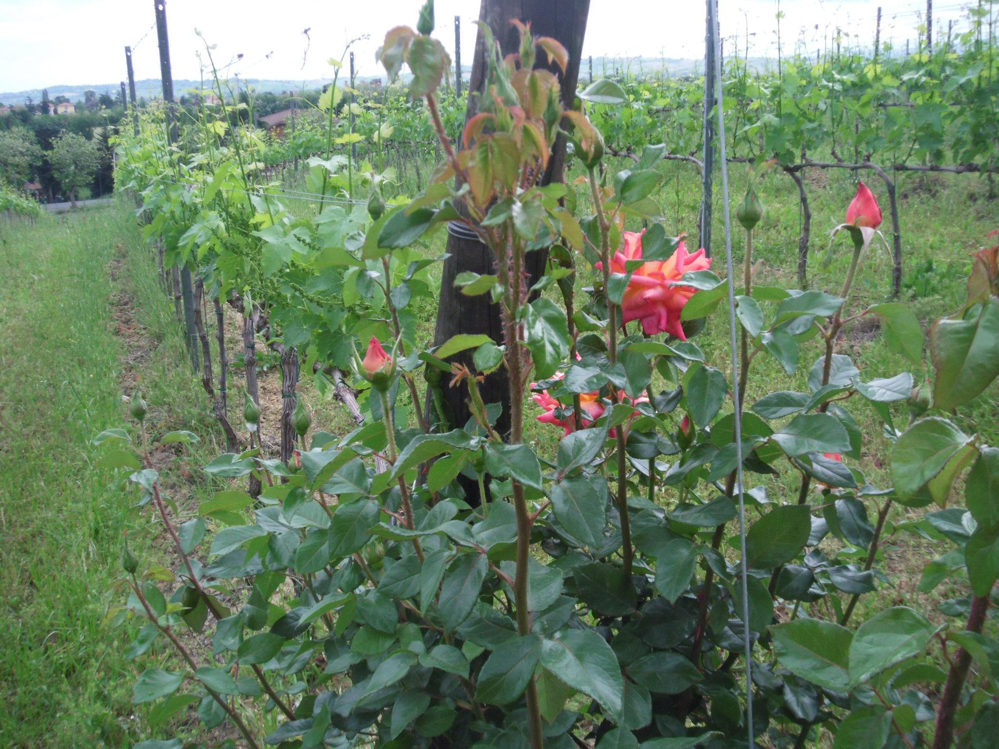 vigne con rose collina dei poeti