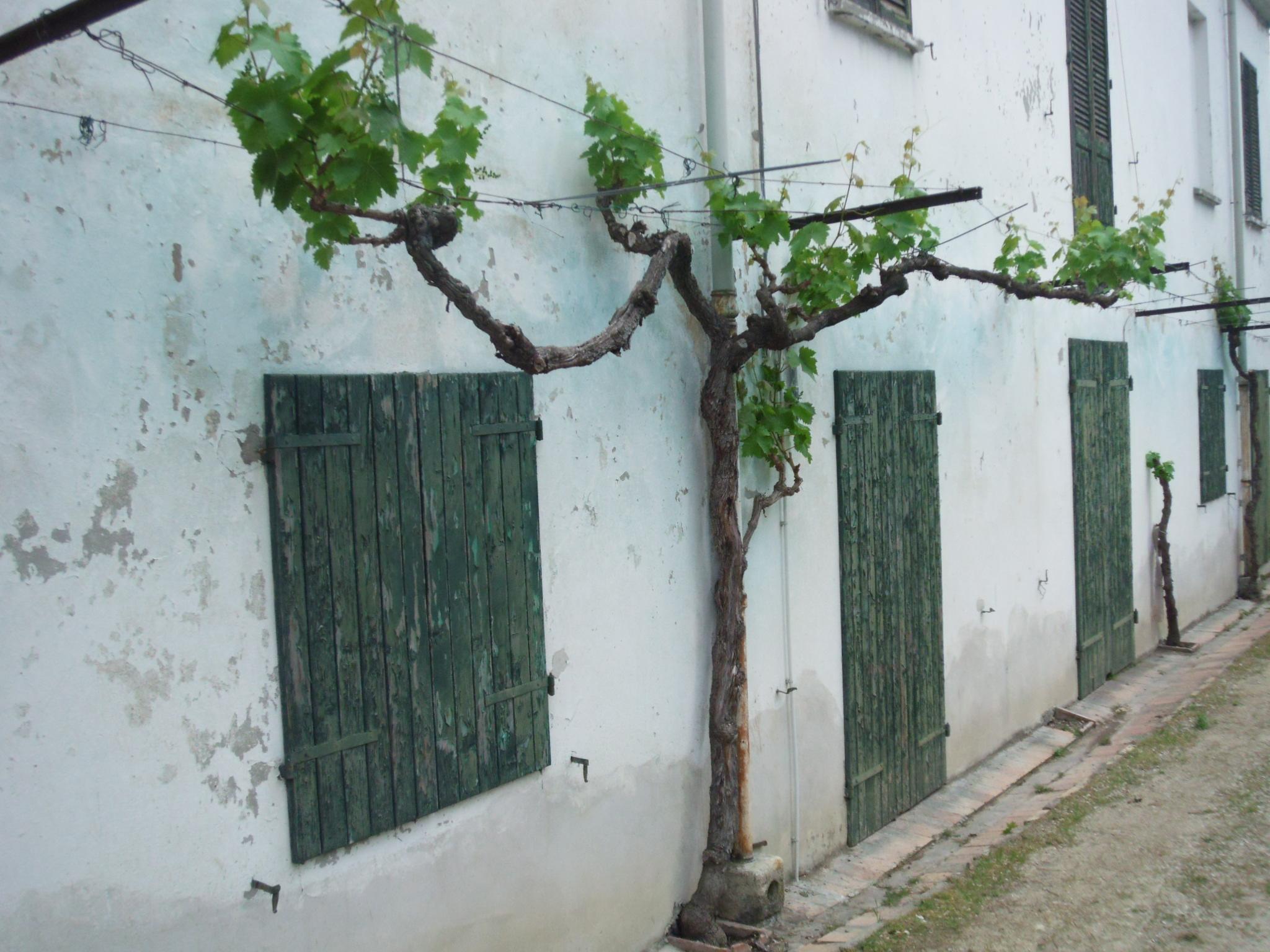 vigne attaccate alle case collina dei poeti