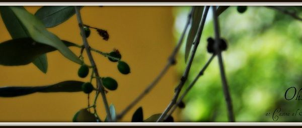 Ci vediamo a Vecchiano…per la raccolta delle olive!