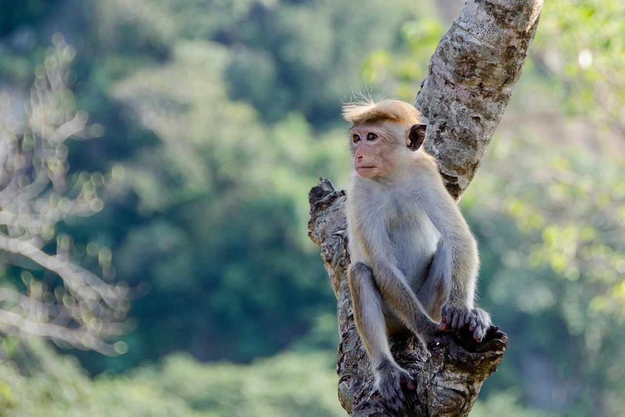 sri lanka scimmie bambini