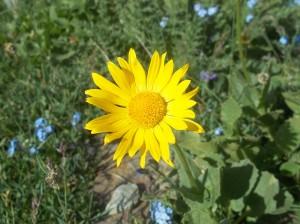 fiori gialli nel parco nazionale del gran paradiso