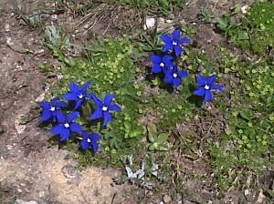 fiori blu nel parco nazionale del gran paradiso