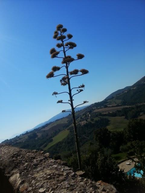 agave americana 1