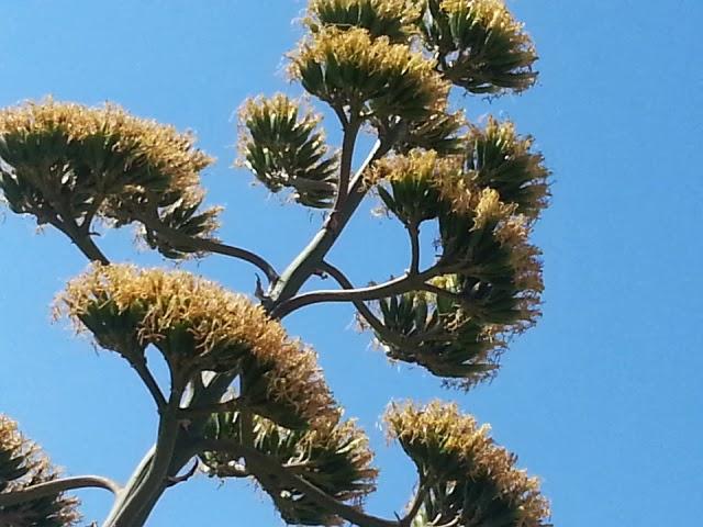 agave americana 2