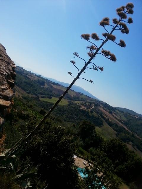 agave americana 4