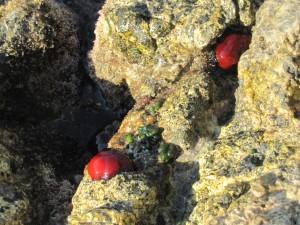 I pomodori di mare tra gli scogli dell'Argentario