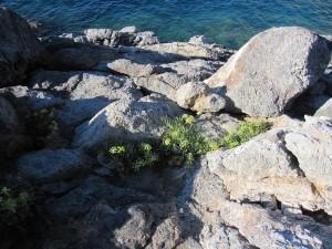 Flora da scogliera