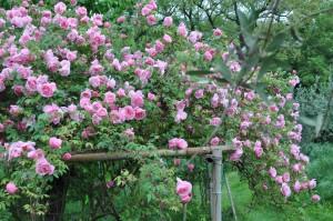 rosa Lijiang Rose a santa maria in portella