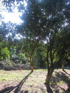 Gli aranci selvatici nel Parco dell'Uccellina