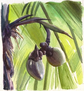 Coco de Mer - Praslin