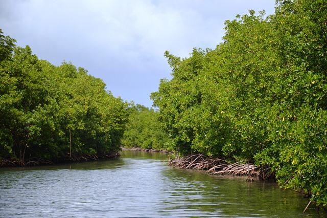 Mangrovie a Vieux Bourg