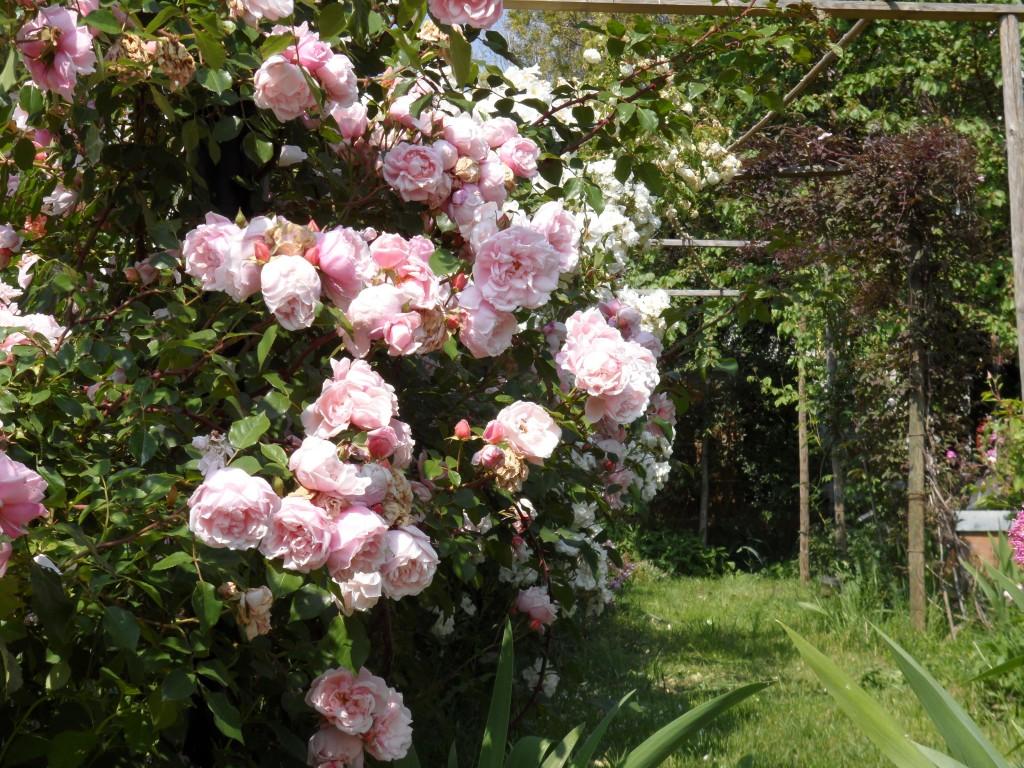 rose maggio giugno 035