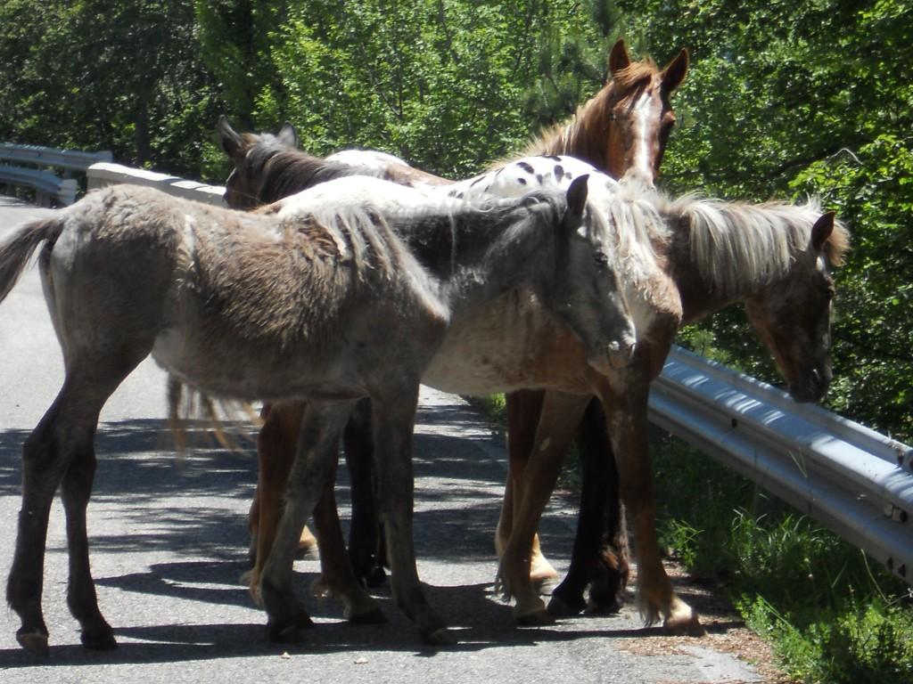Ciociaria Monti Ernici Cavalli bradi sulla strada per Campo Catino