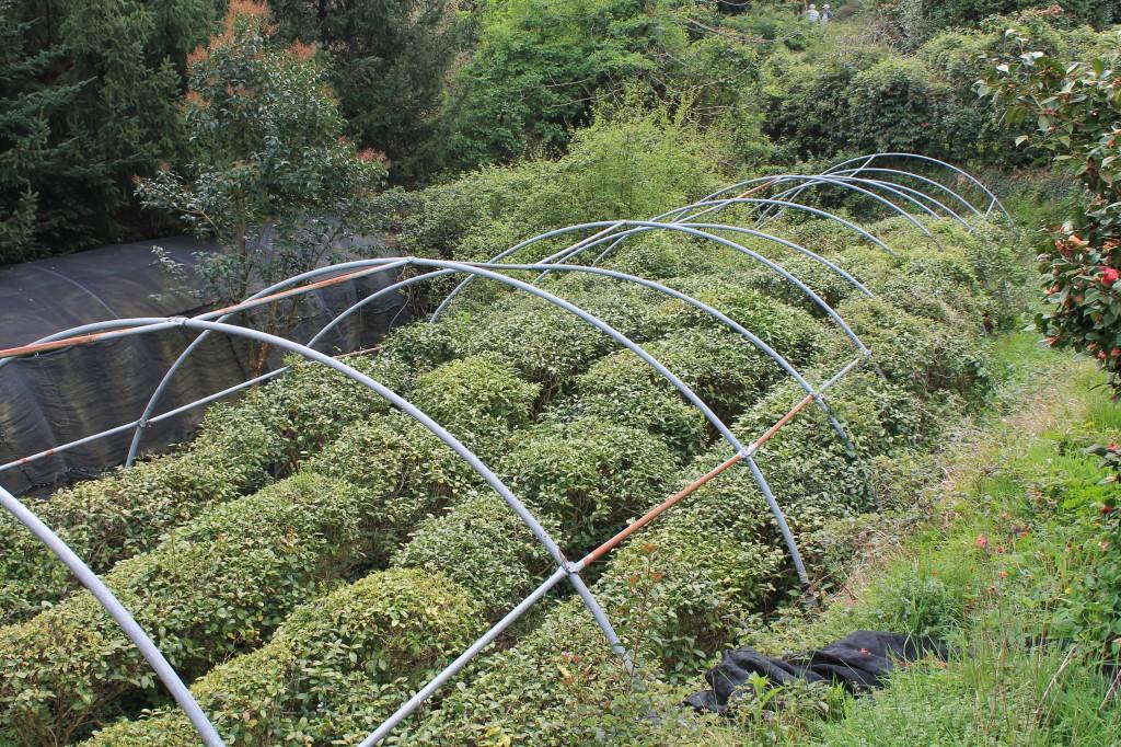 coltivazione di tè in italia