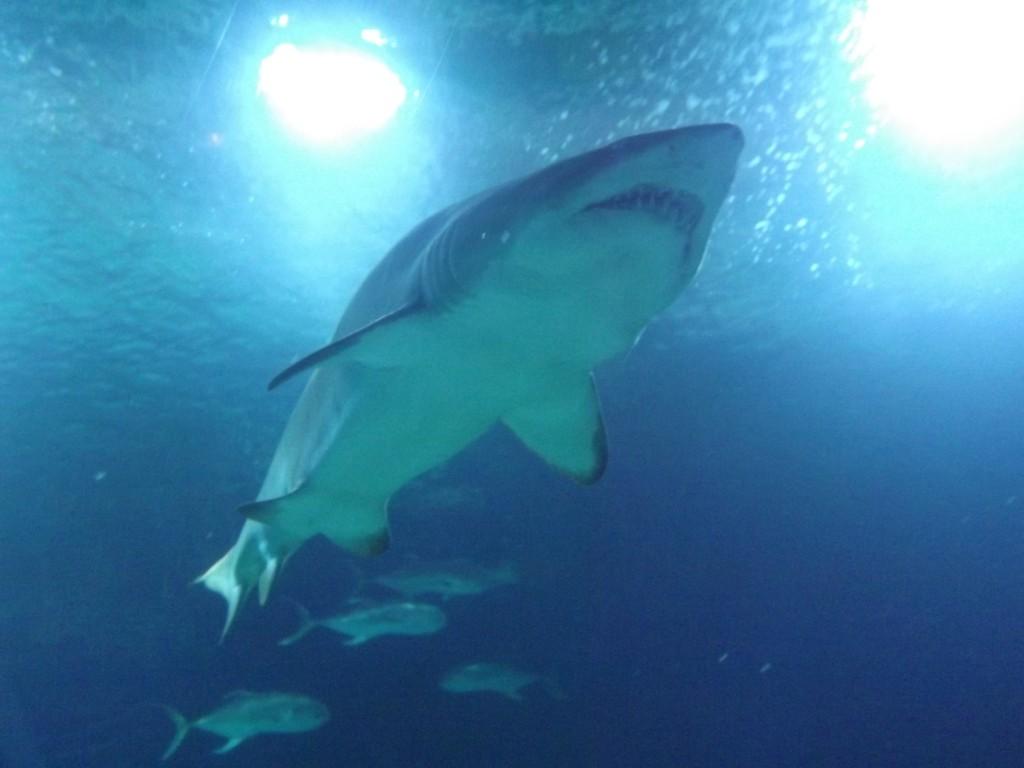 Oceànografic valencia gli squali