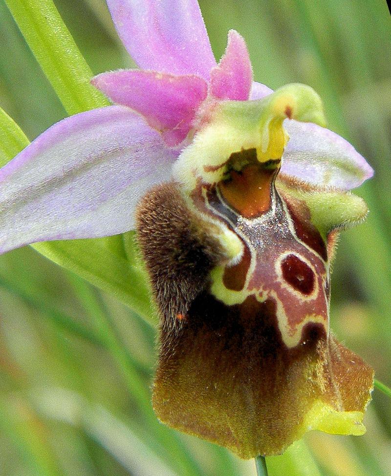 Op. holosericea subsp. apulica