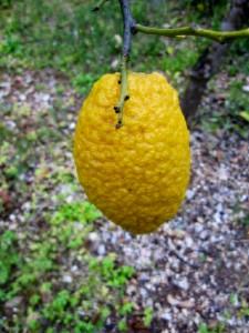 Limone lasciato maturare per avere meno succo e più polpa