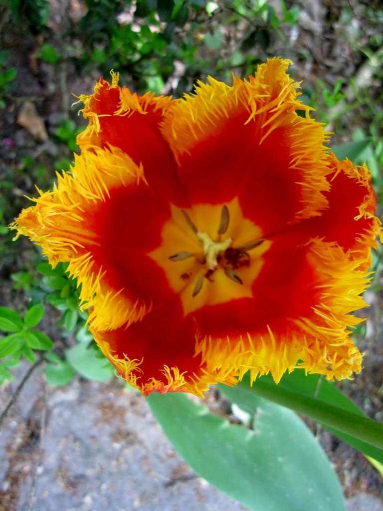 Tulipano orchidea oppure pappagallo?