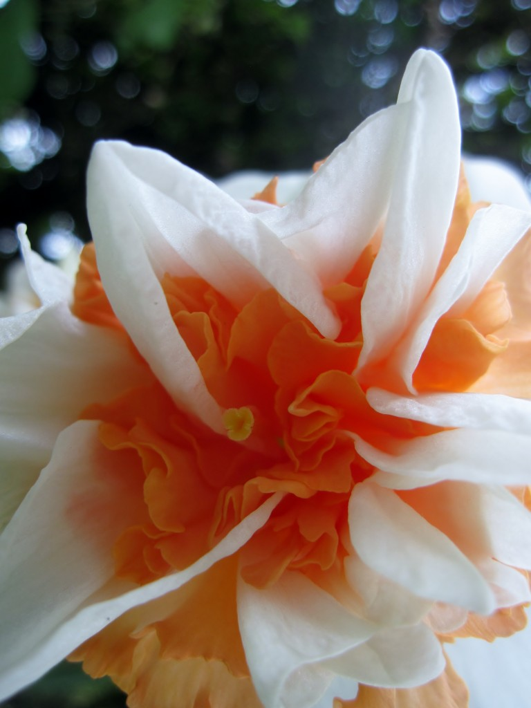 Tulipano salmone