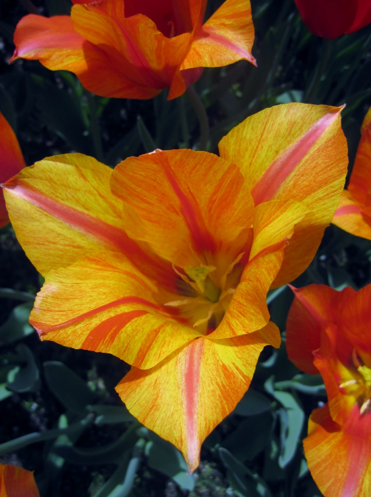 Tulipano liliumformis? Cerco conferme!