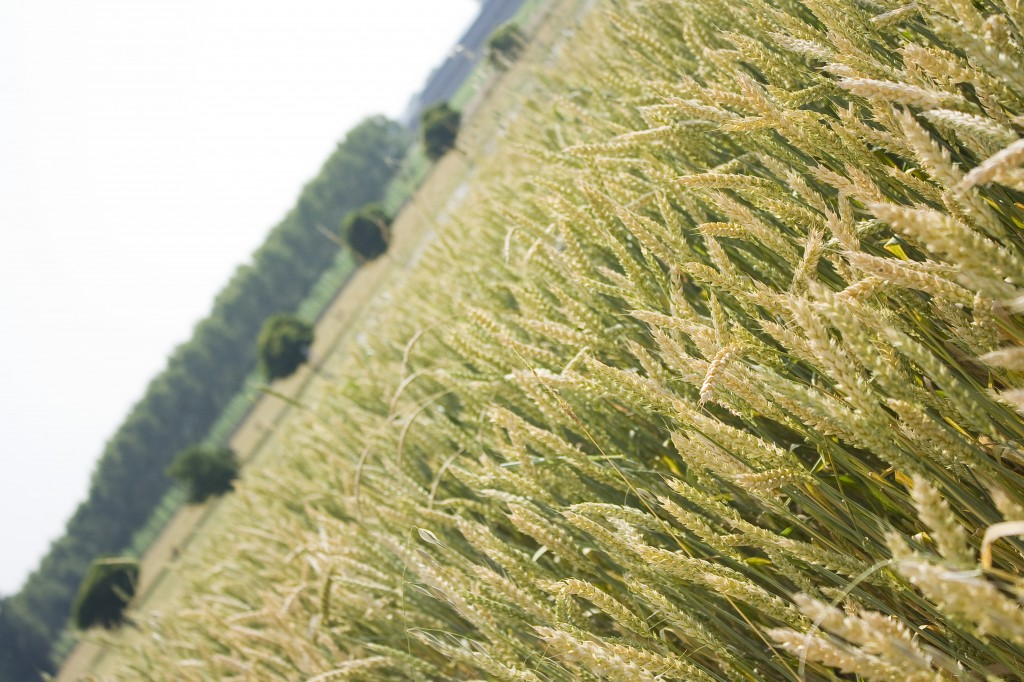 Spighe di grano nel Monferrato