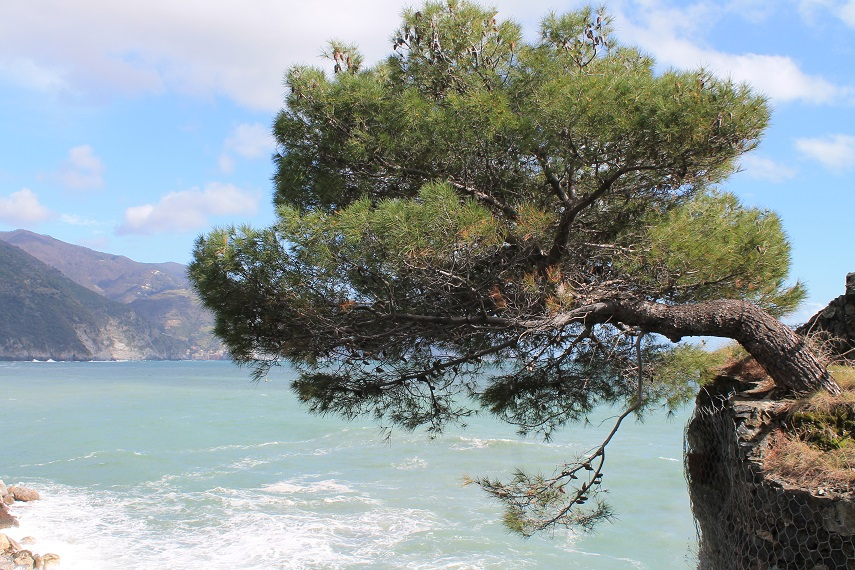 cinque terre albero