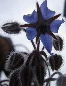 Fiore di borragine