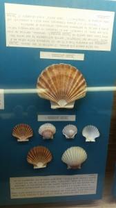 Museo della Conchiglia- Pecten
