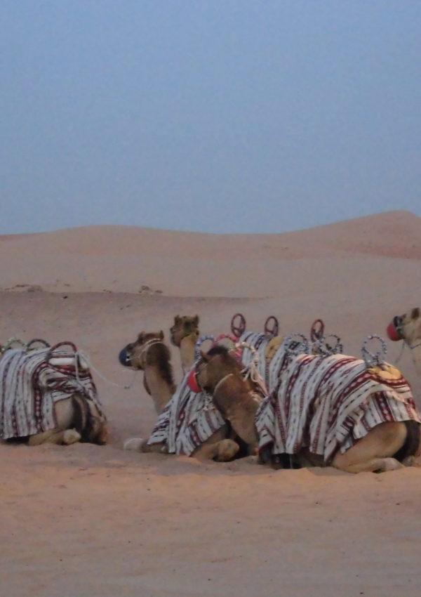 gita coi cammelli nel deserto a dubai