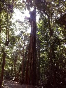 albero a monteverde