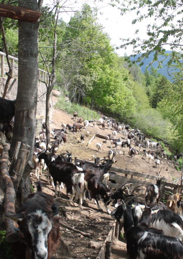 Una giornata sull'Altopiano di Piné tra agritur e caprette