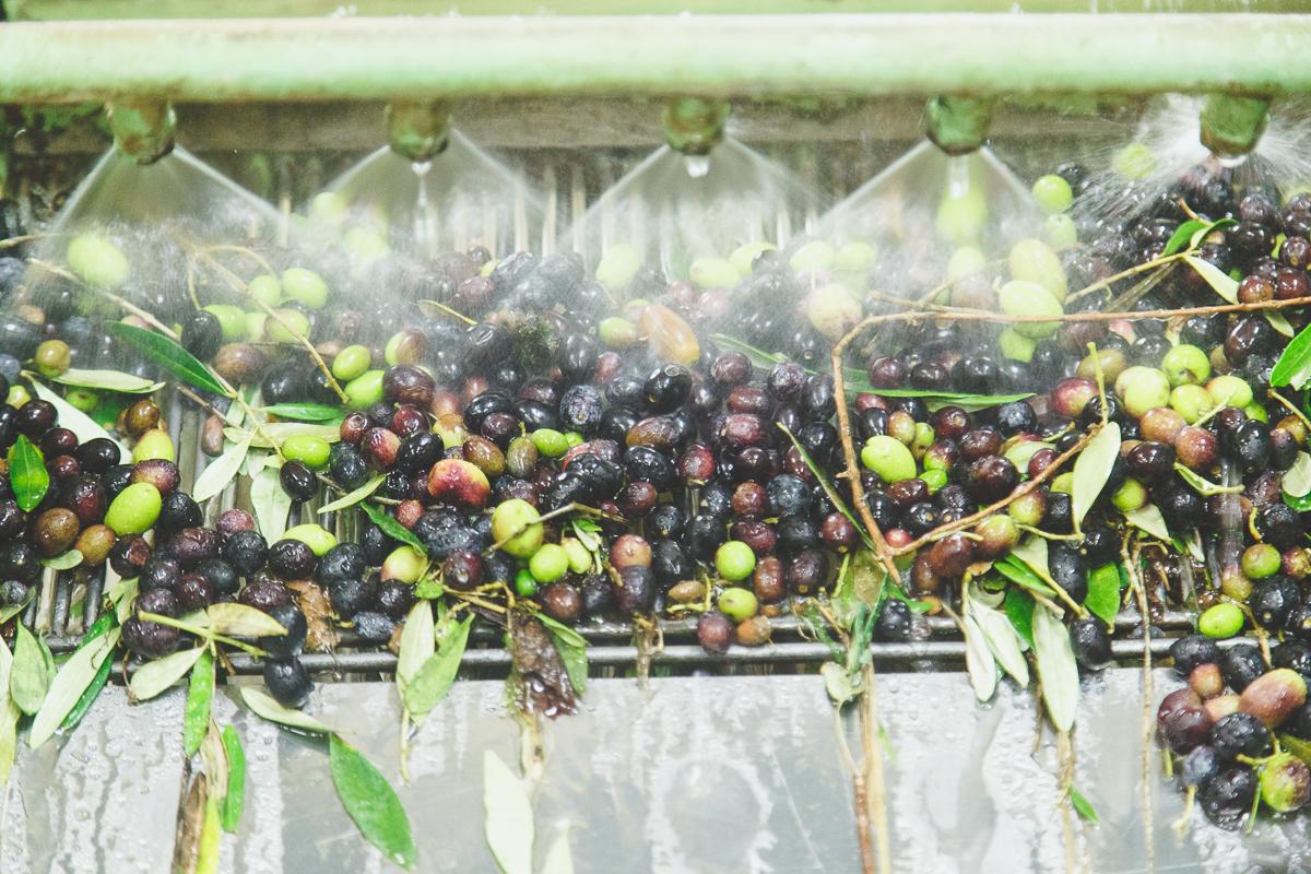 lavaggio olive capezzana