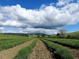 campi-di-lavanda-nprima-della-fioritura-in-toscana-a-santa-luce